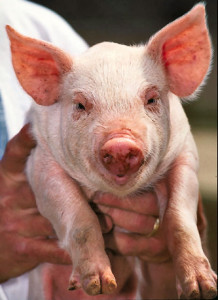 In a series of groundbreaking experiments, they found that inside the pig, avian and human influenza viruses could swap their genes. The viruses that came out of the pigs were novel, had altered virulence, and could spread to un-infected pigs.